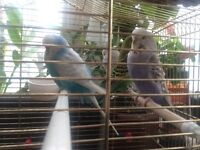 Pair of baby budgies for £20