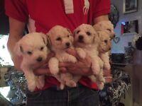 Bkchon frise puppies