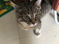 Adorable male tabby kitten for sale