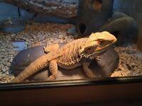Male Adult Bearded Dragon, Vivarium and Accessories