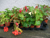 Begonia Plants £1 each ready for pots planters and baskets