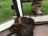 Baby guinea pigs for sale. Available now