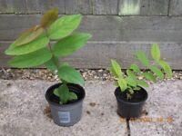 Hypericum Plants