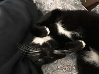 Black and white male cat found
