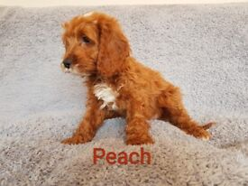 Stunning Ruby Fox Red F1 Cavapoo babies PRA Clear