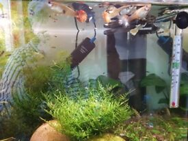Guppy Fry and Adults for Sale