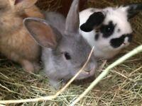 8 week old rabbits