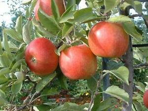 Braeburn Apple Tree - Dwarf Variety Great for Smaller Gardens Apx 5-6ft - 3yrs