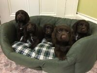 KC reg Cocker Spaniel Puppies For Sale