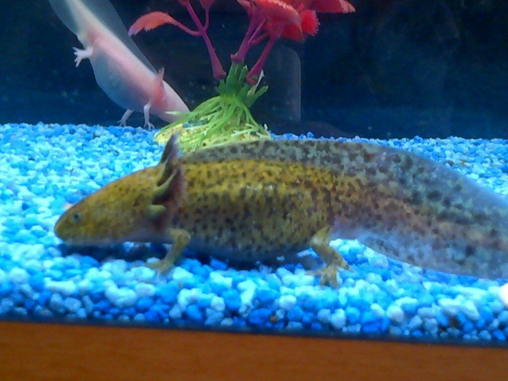 Axolotl for sale 8 also known as mexican walking fish for Mexican walking fish for sale