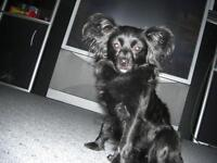 Lost - Small Black Female Schipperke Poodle - Huge Reward