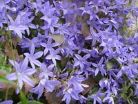 GARDEN PLANTS Campanula (Blue Bell Flower) Hardy low growing Perennials Ready to plant 20 pots