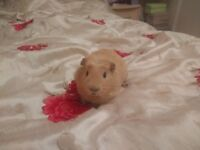 Guinea Pigs for Sale (FOR EXPERIENCED OWNERS)