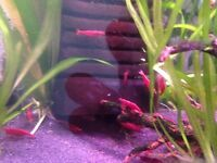 Strong coloured Red cherry Shrimp 1 each