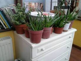 NO TEXTS PLEASE. ALOE VERA PLANTS. GOING FAST!!! £5 to £15