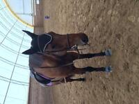Horse for lease/sale