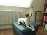Jack Russell looking for loving home