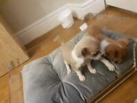 chiuihua puppies