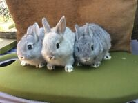 Netherland Dwarfs for sale. Ready for homes around wkend of 23rd/24th June. Boys & girls available