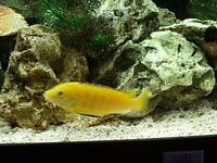"Malawi Yellow Lab group of 5 adults. 1 male and 4 females, about 4.5"" £30 the lot"
