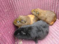 guinea pigs needing homes