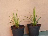 2 small ornamental grasses for sale