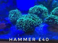 Corals for sale marine saltwater aquarium