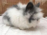 Purebred DM Lionhead Baby Rabbits