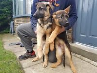 Big Boned German Shepherd Pups