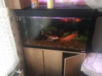 Fish and fluval tank for sell. Reluctantly have to sell my fishes 2 koi, 3 goldfishes and 2 orandas