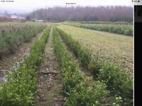 LAUREL HEDGING PLANTS. 18 ins. £2-50