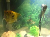 Angelfish,2 fish tanks ,fluvial external filter,air pump,water heater and extras
