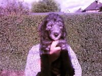 3/4bedlington x whippet puppy ready to go