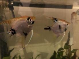 2 angelfish pairs
