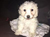 Full Bred Bichon Frise For Sale!!!!!