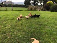 Golden & black Labrador pups