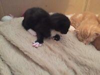 Male black and white vet checked kitten forsale last one of litter