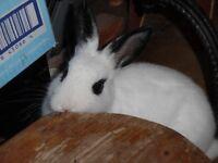 White female Rabbit for sale