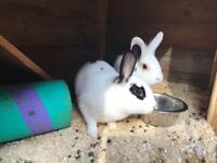 Two gorgeous girl rabbits - Lionhead & Dutch (10 Months old)