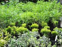 Garden Plants - Wide variety - Only £3 each - Most are in 2 litre pots - Strong and healthy.