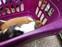 Male + Female Guinea Pigs
