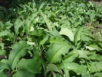 3 x COMFREY PERENNIAL PLANTS FOR £5.00 (INCLUDING DELIVERY)