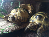 Russian Horsefield Tortoises For Sale To Good Home