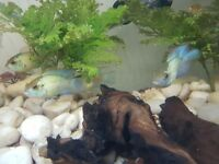 Discus and Blue Acara for sale