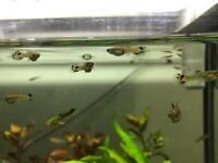 Guppies fish x20