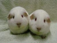 Baby guinea pigs for sale