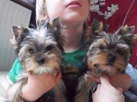 Pedigree miniature teacup tiny Yorkshire Puppies girls