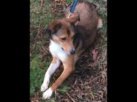 Registered red and white welsh sheepdog