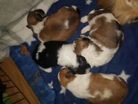 Beautifull shih tzu pups full breed