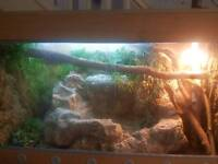 Baby red iguana and 4ft full set up